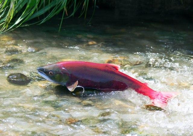 sockeye-salmon (1)